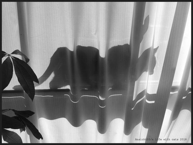 Schattenkatze2018acl.jpg